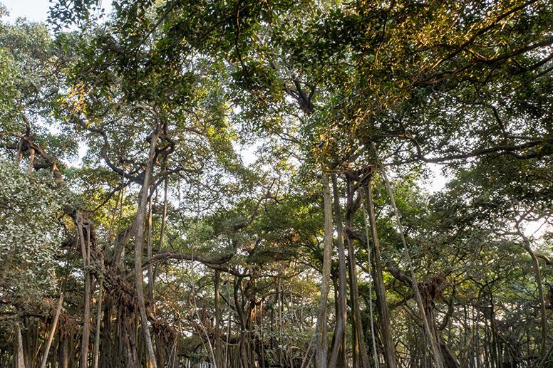 Calcutta Botanical Garden