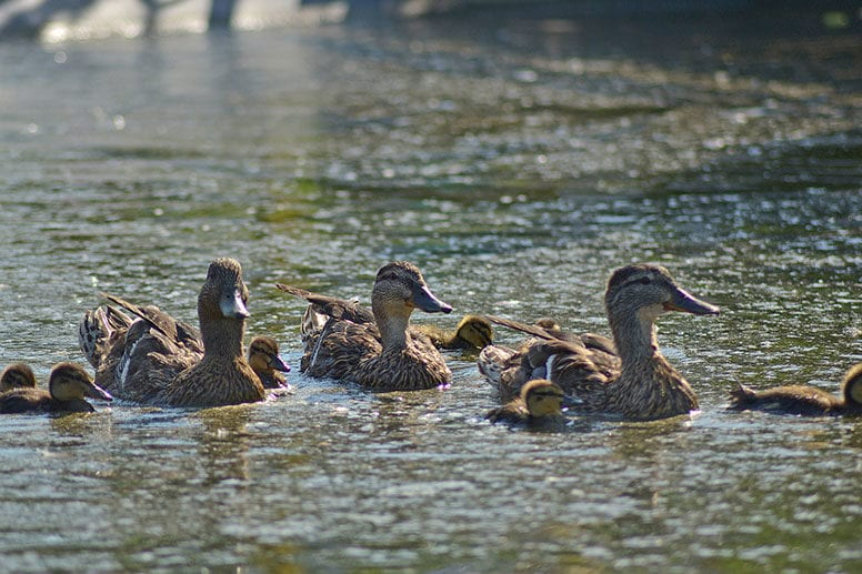 Lake Manawa Ducks